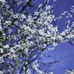 Wildkirschenblüte Stroit
