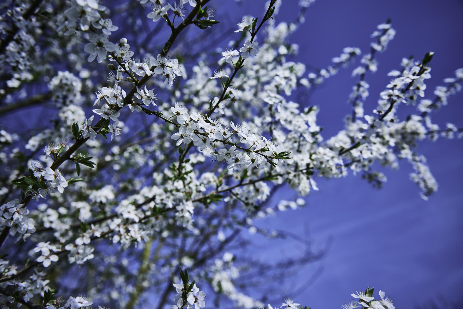 Wildkirscheblüte Stroit